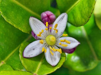 A Limeflower (photo courtesy of www.lemis.com)